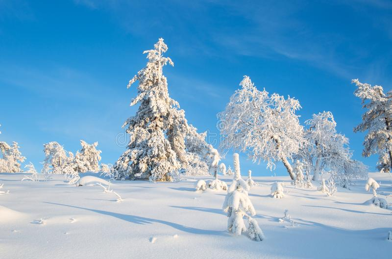 Trees Covered With Snow In Sunny Day With Clear Blue Sky In Lapland Finland, Northern Europe, Beautiful Snowy Winter Forest Lands. Cape Background stock images