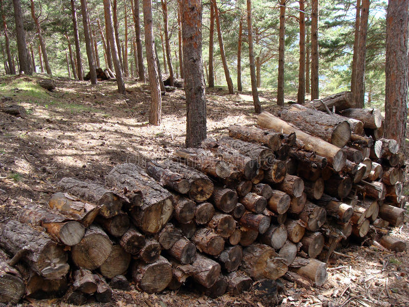 Trees cut. Group piled firewood trunks. Cut pine trees in the forest stock image