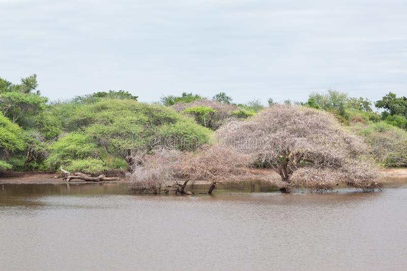 Trees in dam in Kruger National Park royalty free stock photos