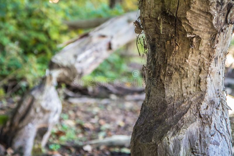 Beavers` damage. Trees damaged by beavers in a forest stock photos