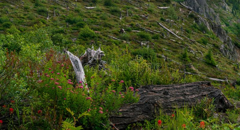 Trees Damaged By Volcano At Mount Saint Helens royalty free stock images
