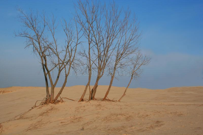 Trees in desolate sand dune royalty free stock photo
