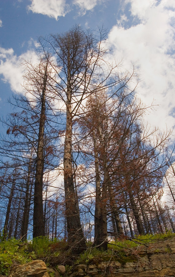 Trees devastated by fire stock photo