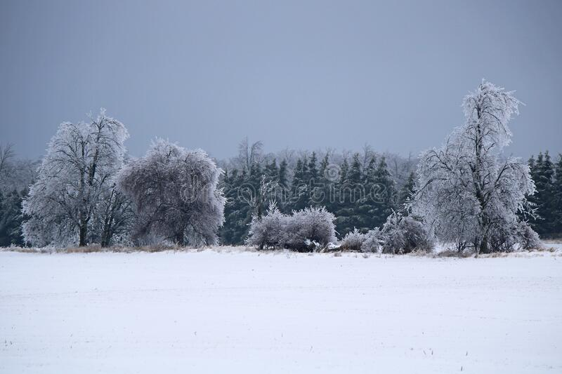 Line Of Ice Covered Trees After An Ontario Freezing Rain Storm. Trees at the edge of a farm field in Dufferin County, Ontario, Canada are coated in thick ice, a stock images