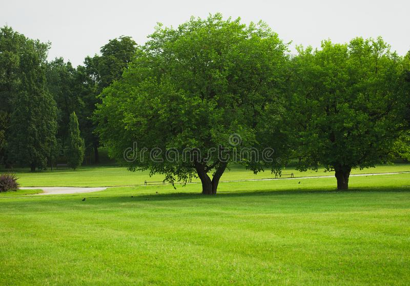 Trees on an empty green lawn. At the city park stock photo