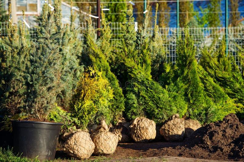 Trees in the evergreen nursery garden royalty free stock photo
