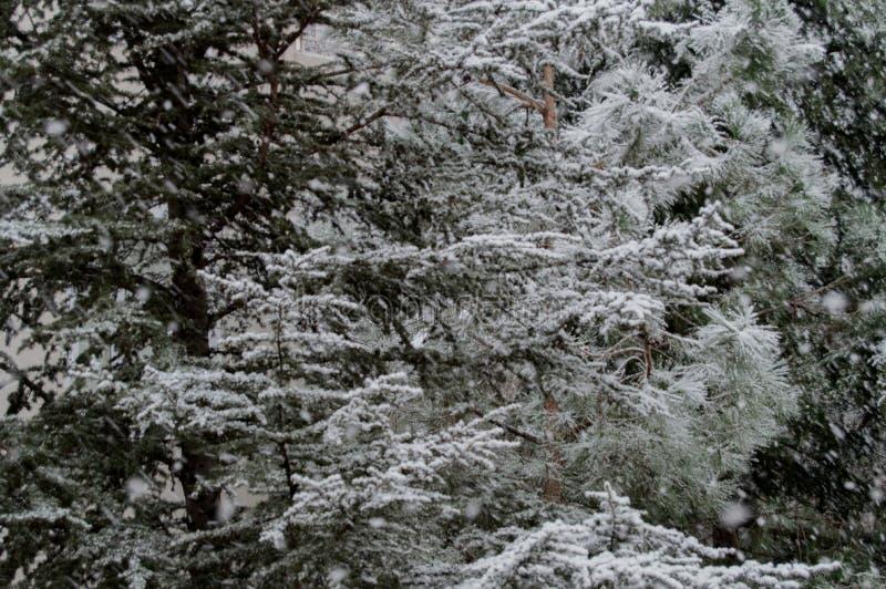 26 trees för format för sammansatt digital enorm mpix panorama- sköt snöig royaltyfri fotografi