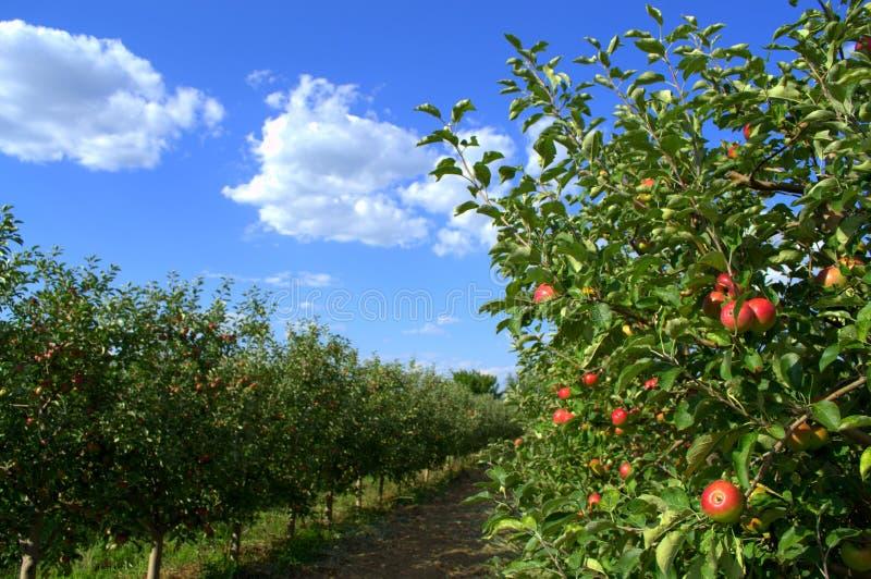 trees för leaves en för äpple oisolerade fulla royaltyfria bilder