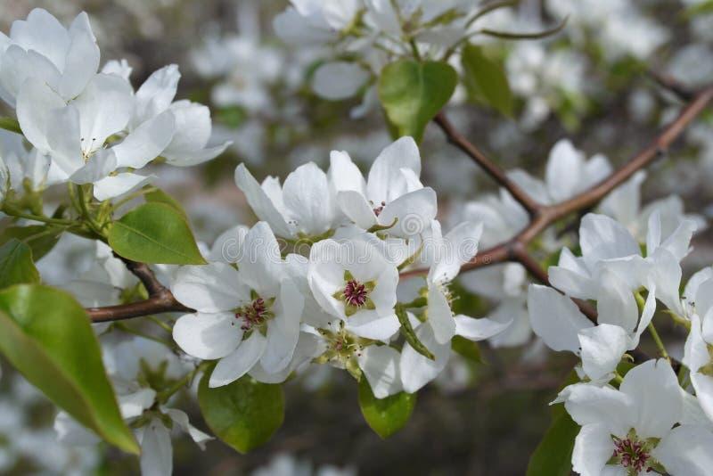 trees för leaves en för äpple oisolerade fulla arkivbilder