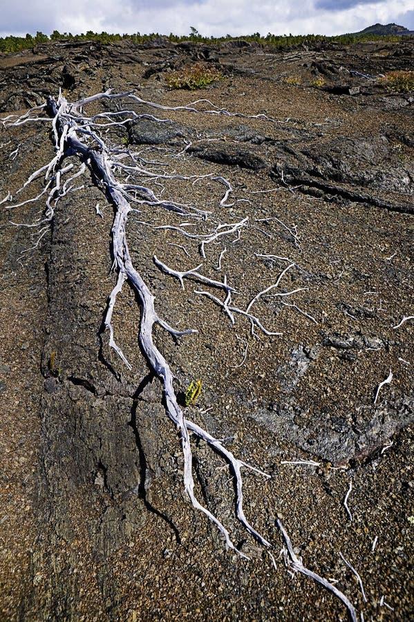 trees för skelett för fälthawaii lava royaltyfria foton