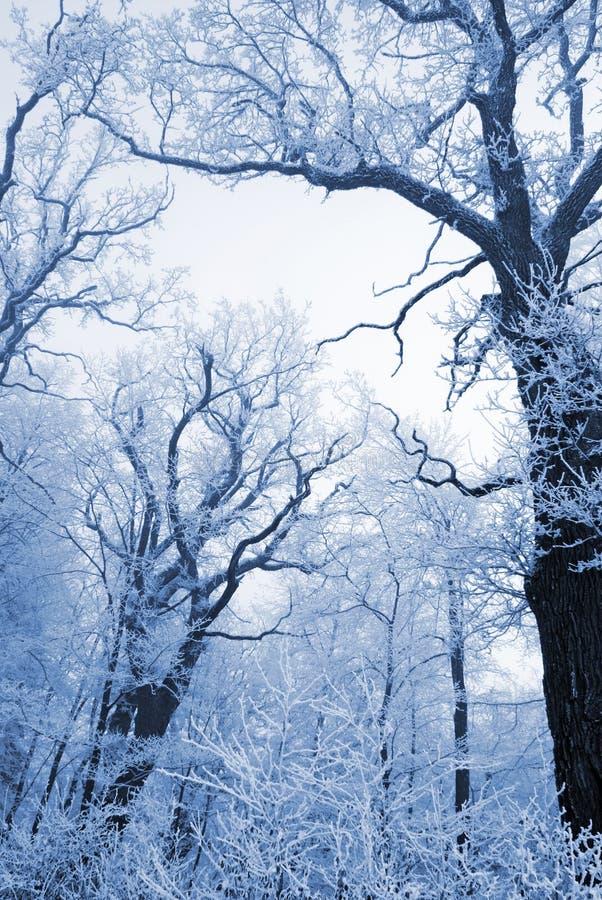 trees för skognaturoak royaltyfria foton