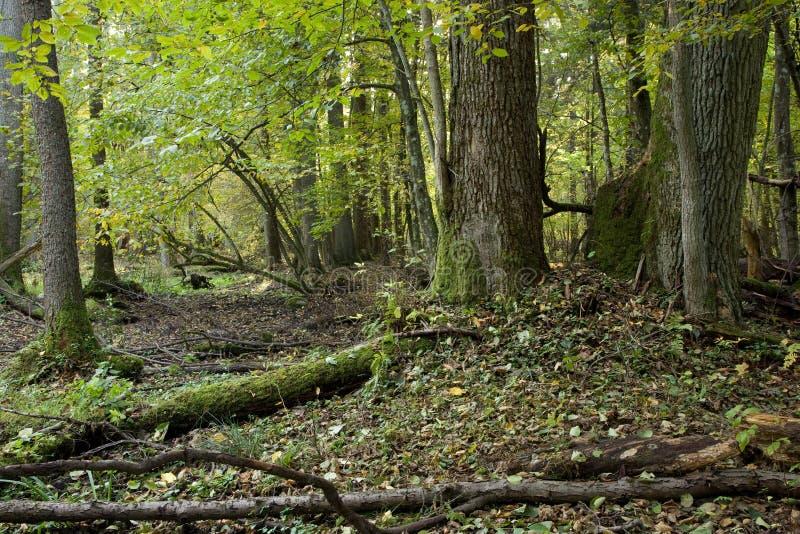 trees för stand för bialowiezaskogoak royaltyfria foton