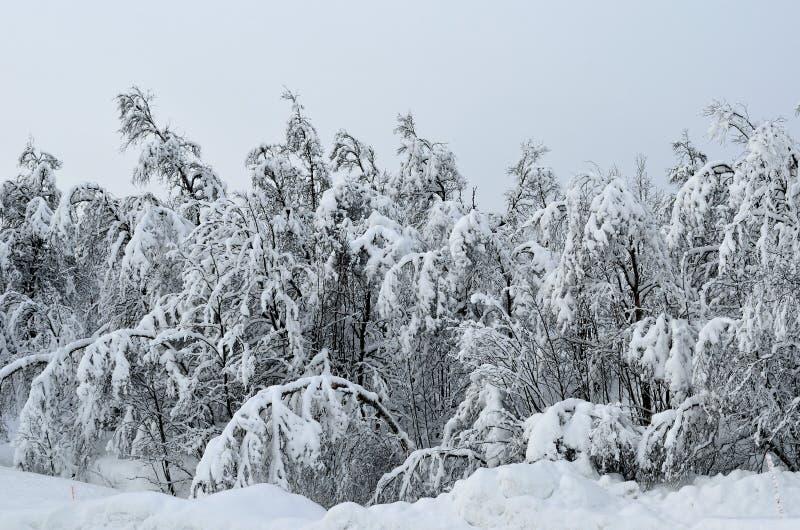 trees för tung snow arkivfoton