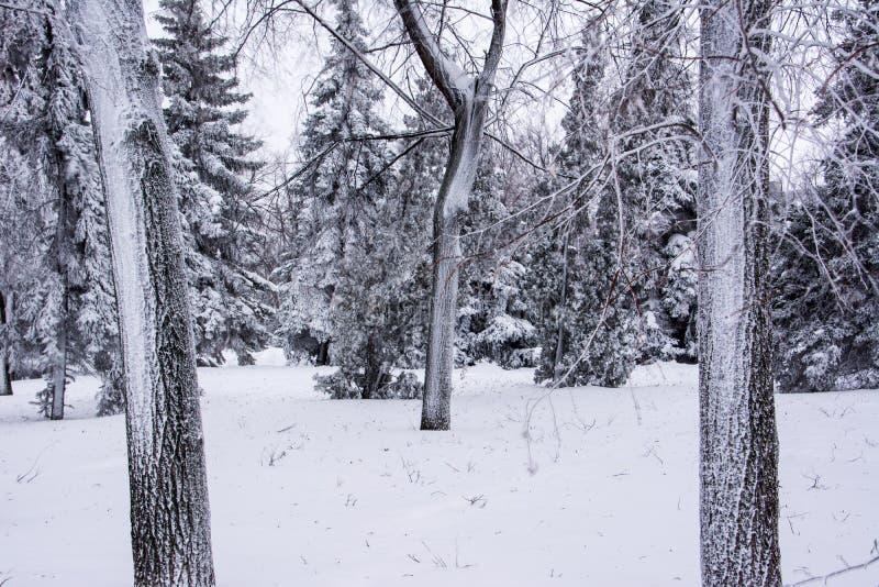 trees f?r park f?r den dagfrostjanuari naturen ?vervintrar sn?ig Grändkrona vinter f?r bakgrundsv?gsnow arkivfoton