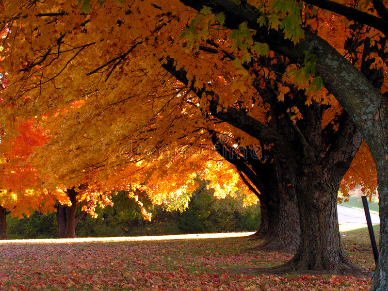 Trees in Fall. A row of trees with orange leaves in Autumn stock image