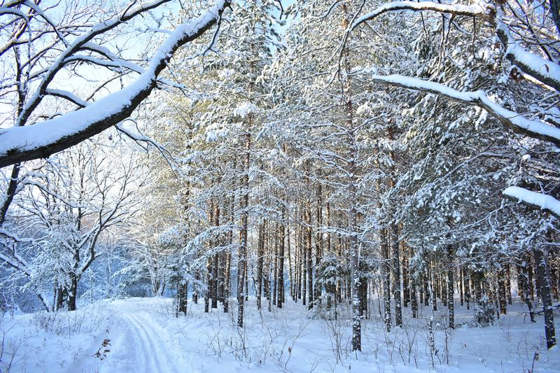 With trees falling snow, beneath which is barely discernible green needles of pine and spruce. And everything, everything is wrapp. In winter it is very cold, I stock photography
