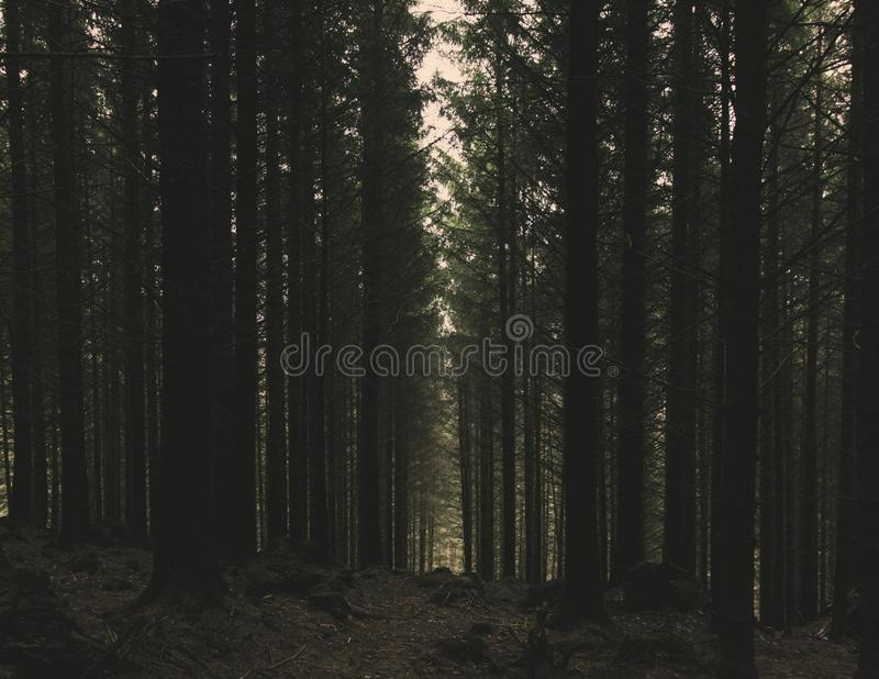 Standing tall. Trees in a farmed forest growing in formation stock photos