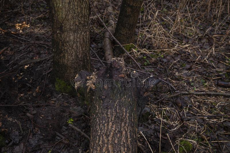 Trees felled by beavers. Close up on the tree royalty free stock photo