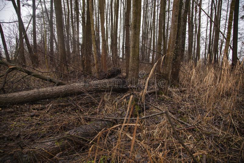 Trees felled by beavers. Cut out in the forest stock photos