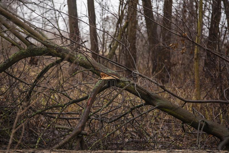 Trees felled by beavers. Close up stock photo