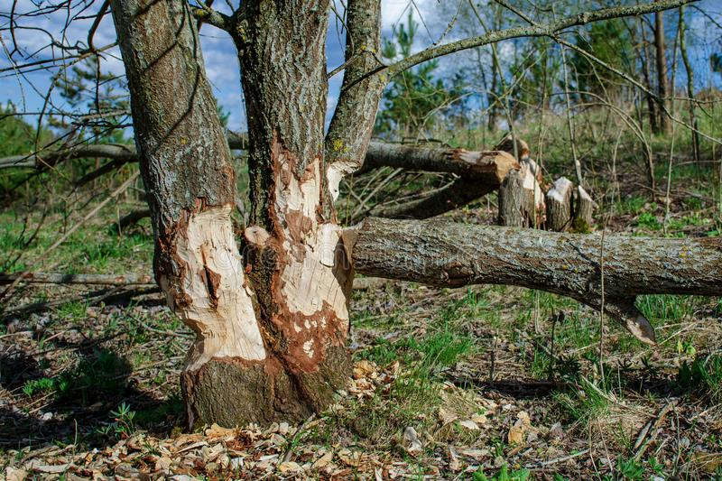 Trees felled by beavers. Sign of beavers activity. Early spring season royalty free stock photography