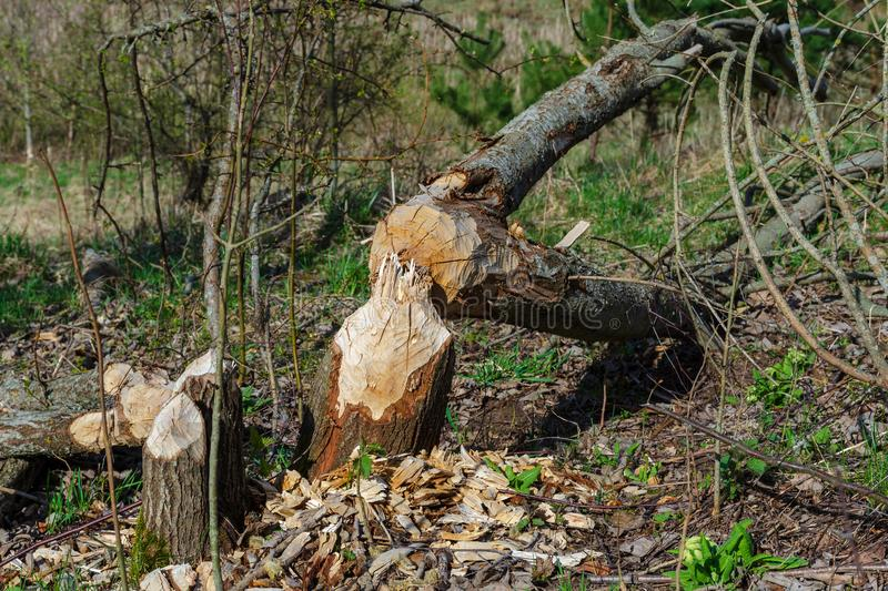 Trees felled by beavers. Sign of beavers activity. Early spring season stock photos