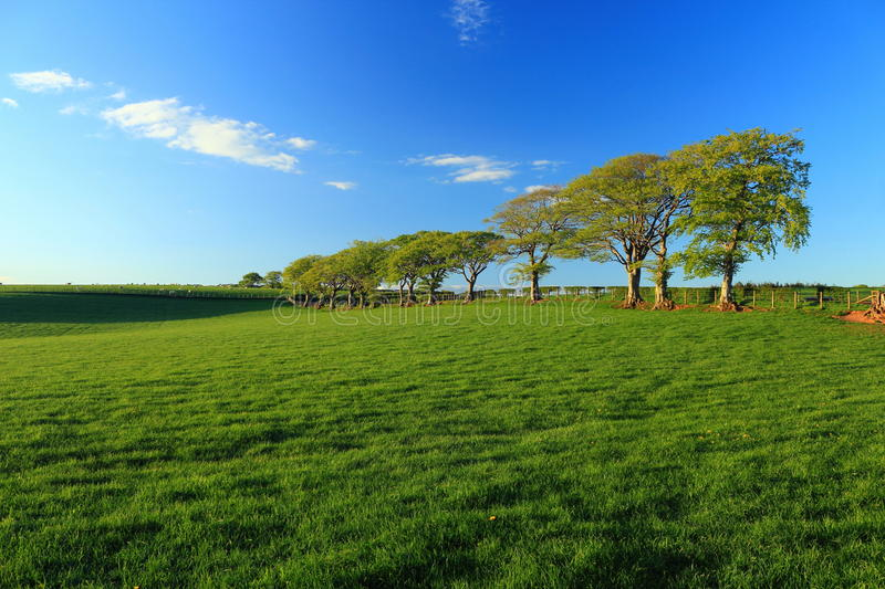 Old Beech Trees and Green Pastures in Golden Evening Light in Dumfries and Galloway, Scotland stock photography
