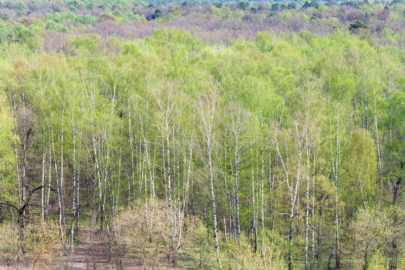 Trees with first green leaves in forest in spring stock photos