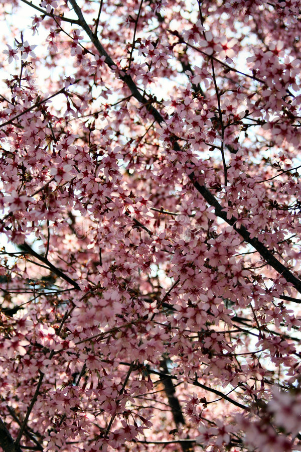 Trees flowers in spring royalty free stock photo