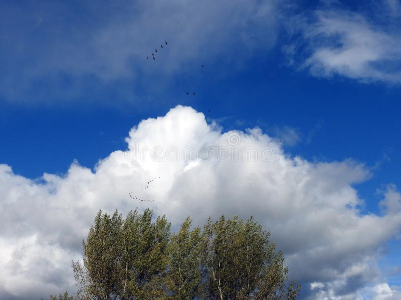 Trees, flying birds and cloudy sky, Lithuania. Autumn trees, beautiful cloudy sky and flying birds royalty free stock image