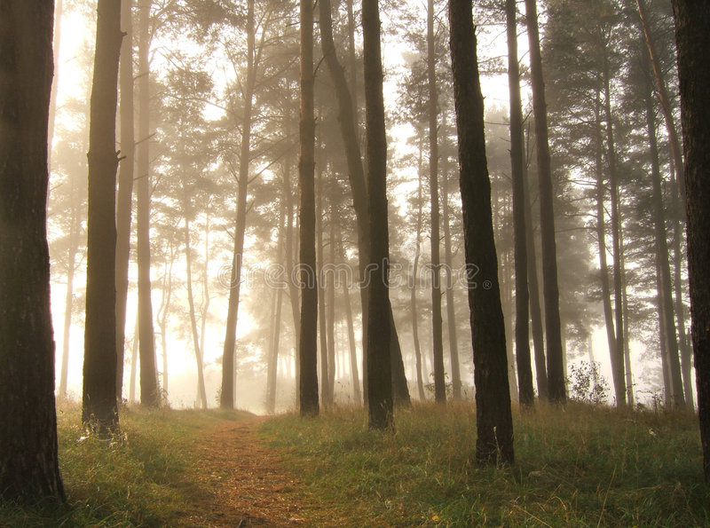 Trees in fog royalty free stock images