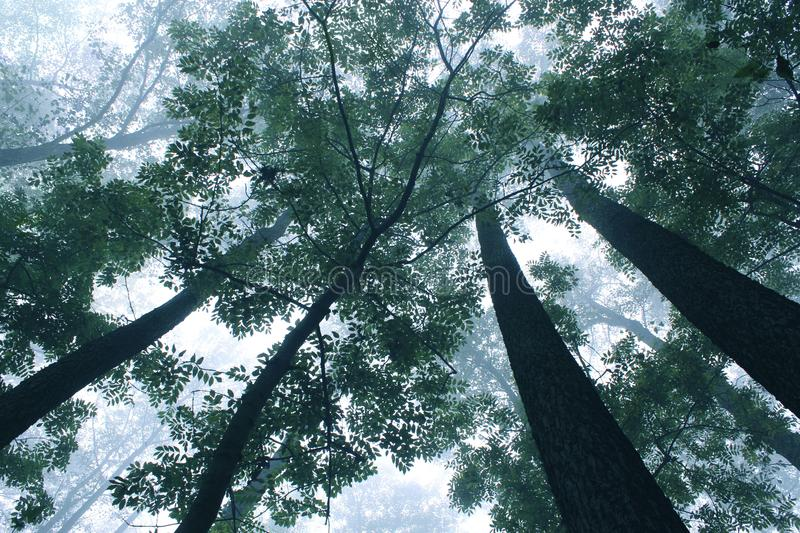 Trees at a foggy mist scenery. Trees at a foggy mist mystical scenery stock image