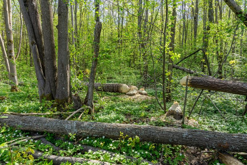 Trees in a forest cut down by beavers. Large trees in a green forest fallen to the ground, recently cut down by beavers stock photos