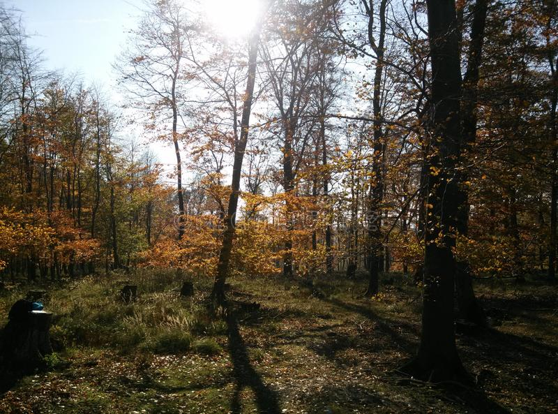 Trees in the forest durring autumn sunny day in West Slovakia. Sun over the trees and beautiful colour of leaves royalty free stock images