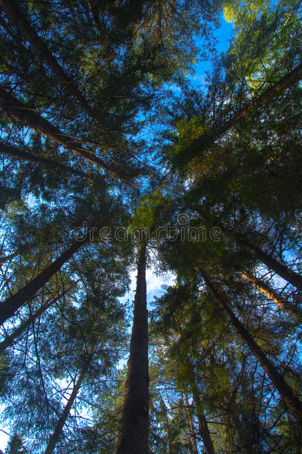 The trees of the forest.forest landscape. Crowns of trees. the forest and the trees. the view from the bottom royalty free stock images