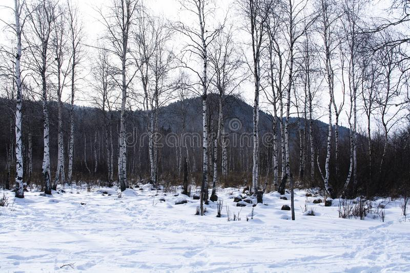 Trees in forest with snow on ground in winter, landscape photography stock photo