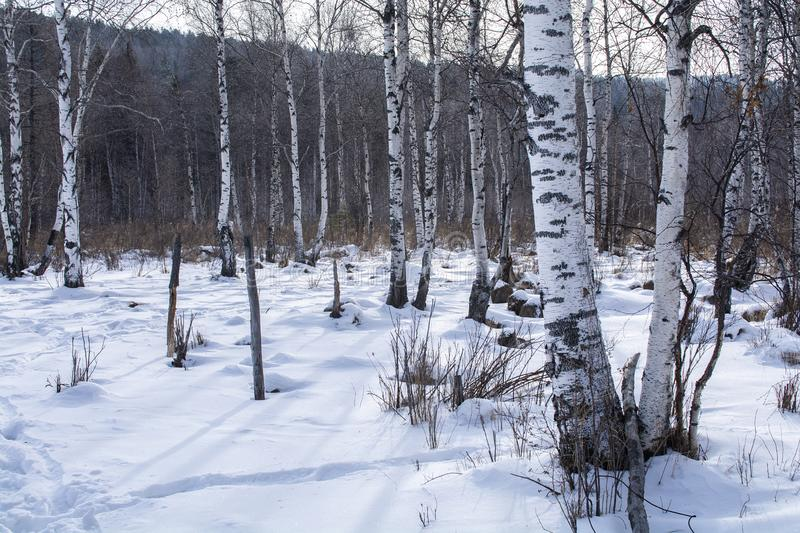 Trees in forest with snow on ground in winter, landscape photography royalty free stock image
