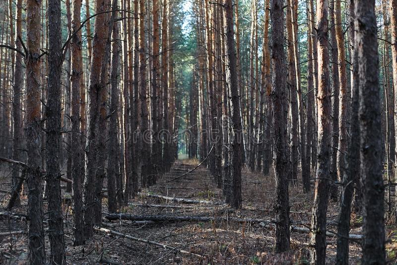 Trees in the forest, tall bare tree trunks. stock image