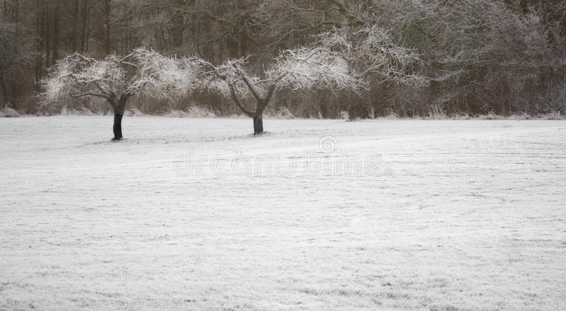 Trees in frost. Trees with frost in a snow covered field royalty free stock photo