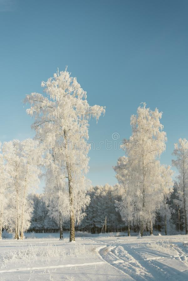 Trees in frost in a field in the forest. Fir trees and pines covered with snow stock photo