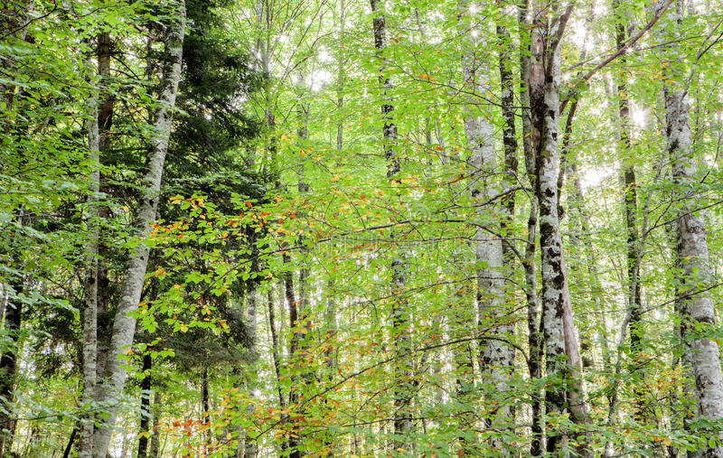 Trees full of leaves starting to turn yellow. Come autumn royalty free stock photo
