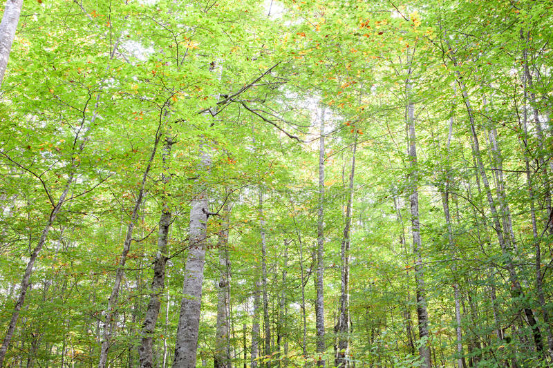 Trees full of leaves starting to turn yellow. Come autumn stock image