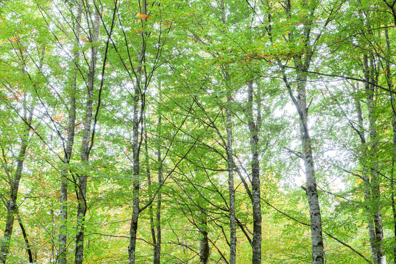 Trees full of leaves starting to turn yellow. Come autumn stock photos