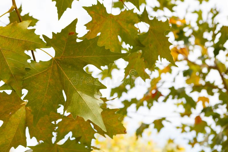 Trees full of leaves starting to turn yellow. Come autumn stock photography