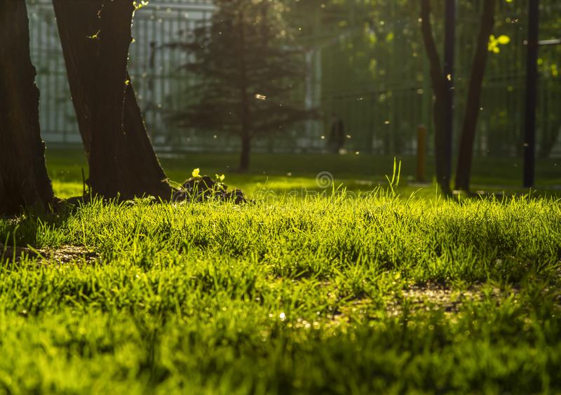Trees in golden sunset, green grass with copy space. royalty free stock photography