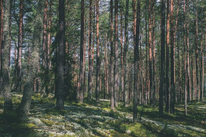 trees in green forest with moss and autumn colors - vintage retro look stock photography