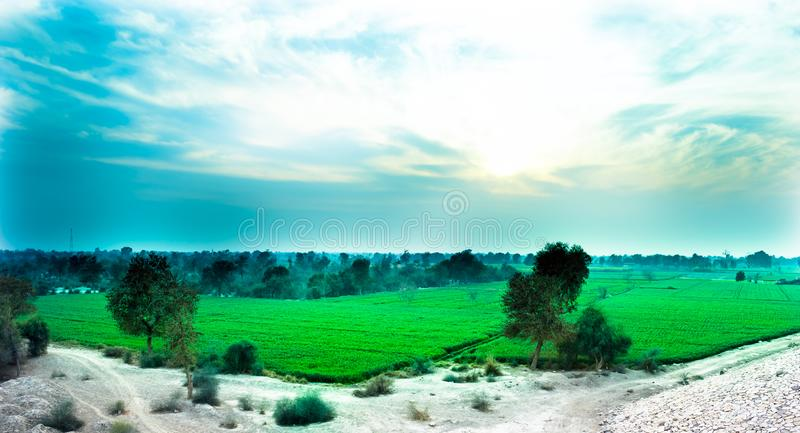 Trees in a green wheat field. stock images