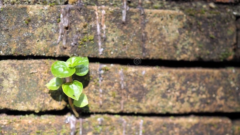 Trees growing in the brick. Ancient old red brick wall with small green tree sprout in wall. Concept of hope and rebirth or new li royalty free stock photo
