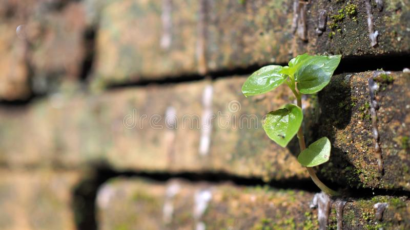 Trees growing in the brick. Ancient old red brick wall with small green tree sprout in wall. Concept of hope and rebirth or new li. Fe stock image