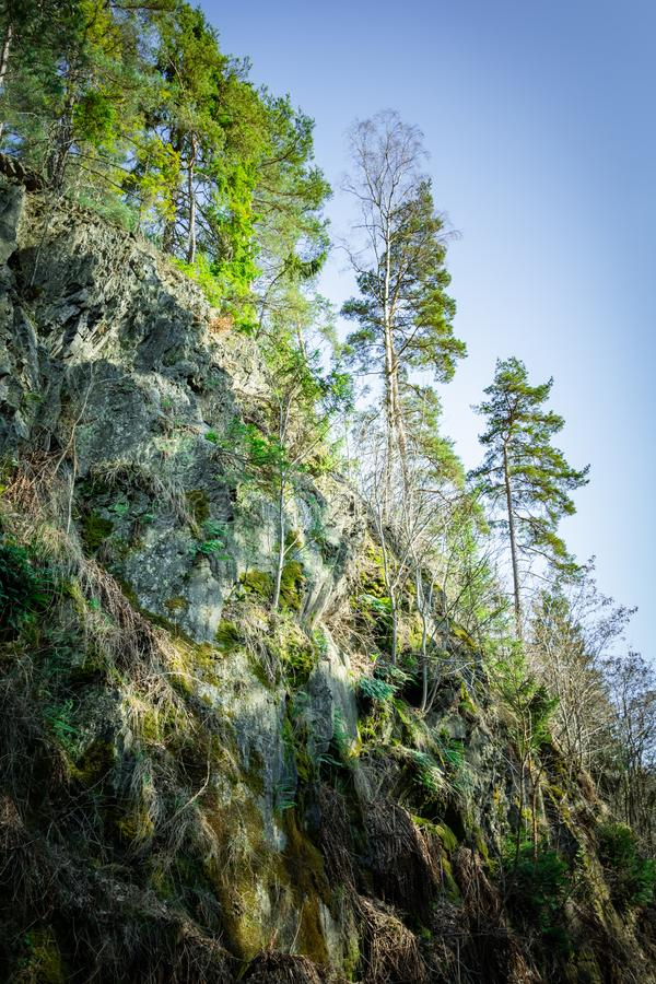 Trees growing on a steep rocky mountain cliff. Covered in lush green moss and lichen under a sunny blue sky viewed from below royalty free stock photo